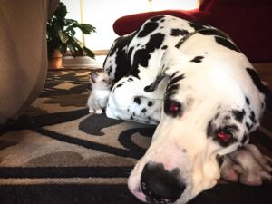 Great Dane with a kitten