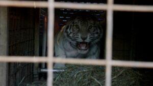 Angry tiger charging Walter.