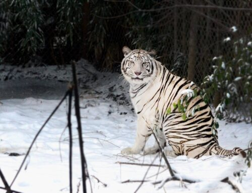 Tigers In Tennessee: A Cameraman's Terrifying Experience