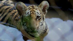 a tiger cub in a pool at Tiger Haven